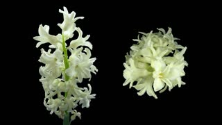Time-lapse of dying white hyacinth Christmas flower 3d4 in 4K PNG+ format with ALPHA transparency channel isolated on black background