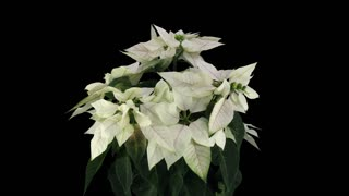 Time-lapse of dying white Poinsettia (Princettia) Christmas flower 13b3 in RGB + ALPHA matte format isolated on black background