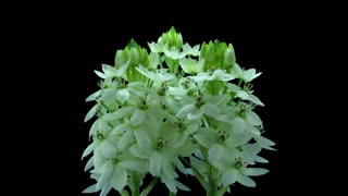 Time-lapse of dying White Star-of-Bethlehem flower (Ornithogalum Narbonense or SnowFlake) 5a4 in 4K PNG+ format with ALPHA transparency channel, isolated on black background