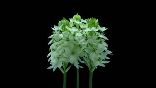 Time-lapse of dying White Star-of-Bethlehem flower (Ornithogalum Narbonense or SnowFlake) 5x4 in 4K PNG+ format with ALPHA transparency channel, isolated on black background