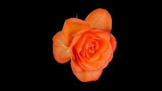 Time-lapse of fading orange rose 1x3 in RGB + ALPHA matte format isolated on black background