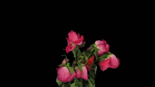 Time-lapse of fading red roses 9b3 in RGB + ALPHA matte format isolated on black background