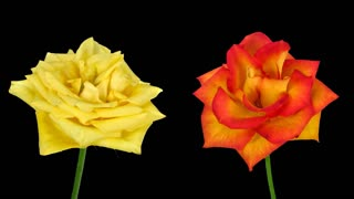 Time-lapse of fading yellow and orange roses 2x2 in PNG+ format with ALPHA transparency channel isolated on black background