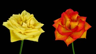 Time-lapse of fading yellow and orange roses 2x3 in RGB + ALPHA matte format isolated on black background
