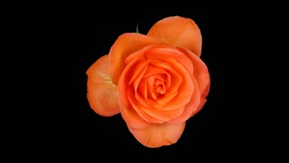 Time-lapse of fading yellow-orange rose 1x1 in PNG+ format with ALPHA transparency channel isolated on black background