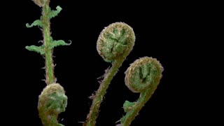 Time-lapse of fern plant unrolling new fronds 13x3 in RGB + ALPHA matte format isolated on black background
