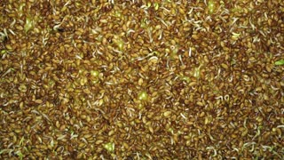 Time-lapse of germinating alfalfa vegetable sprouts, roots and leaves 1b1