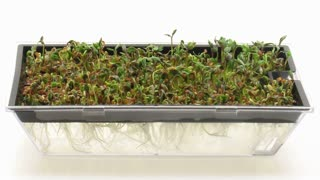 Time-lapse of germinating, growing and molding cress seeds in germination box 7a1 on white background