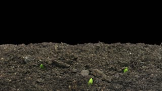 Time-lapse of germinating onion sprouts 4a4 in RGB + ALPHA matte format isolated on black background