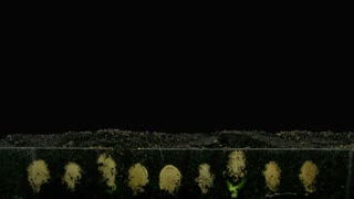 Time-lapse of germinating pumpkin seeds 1x4 in RGB + ALPHA matte format isolated on black background
