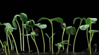 Time-lapse of germinating sunflower seeds in a soil 6c1 in PNG+ format with ALPHA transparency channel isolated on black background