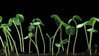 Time-lapse of germinating sunflower seeds in a soil 6c3 in RGB + ALPHA matte format isolated on black background