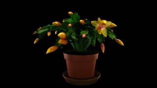 Time-lapse of growing and blooming orange Christmas cactus (Schlumbergera) 4a3 in RGB + ALPHA matte format isolated on black background