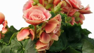 Time-lapse of growing and blooming pink begonia flower 3x1 isolated on white background