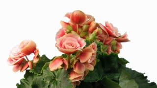 Time-lapse of growing and blooming pink begonia flower on white background