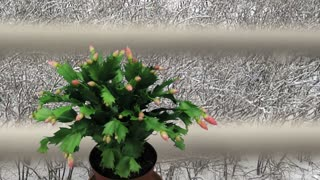 Time-lapse of growing and blooming pink Christmas cactus (Schlumbergera) 1a1 with snowing background