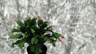 Time-lapse of growing and blooming pink Christmas cactus (Schlumbergera) 1k1 on snowing background