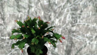 Time-lapse of growing and blooming pink Christmas cactus (Schlumbergera) 1kk1 on snowing background