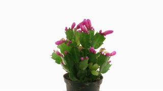 Time-lapse of growing and blooming red Christmas cactus 2x1 isolated on white