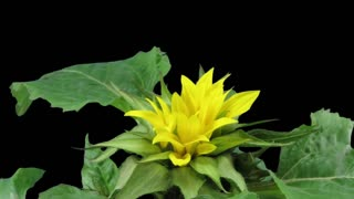 Time-lapse of growing and blooming sunflower 2x3 in RGB + ALPHA matte format isolated on black background, top view