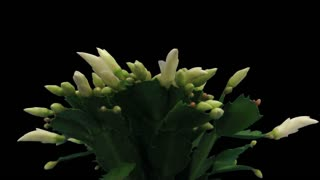 Time-lapse of growing and blooming white Christmas cactus (Schlumbergera) 7b3 in RGB + ALPHA matte format isolated on black background