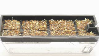 Time-lapse of growing and molding cress seeds in germination box 8a1