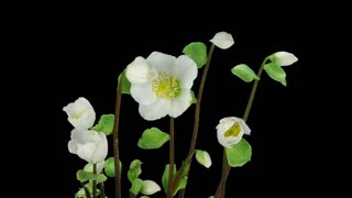 Time-lapse of growing and opening Helleborus Christmas rose 2x4 in RGB + ALPHA matte format isolated on black background