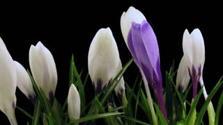Time-lapse of growing and opening multicolor crocus 6a3 in RGB + ALPHA matte format isolated on black background