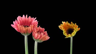 Time-lapse of growing and opening orange and pink gerbera flowers 1x1 in PNG+ format with ALPHA transparency channel isolated on black background