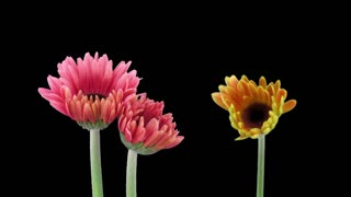 Time-lapse of growing and opening orange and pink gerbera flowers 1x3 in RGB + ALPHA matte format isolated on black background