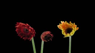 Time-lapse of growing and opening orange and red gerbera flowers 1x1 in PNG+ format with ALPHA transparency channel isolated on black background
