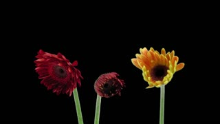 Time-lapse of growing and opening orange and red gerbera flowers 1x3 in RGB + ALPHA matte format isolated on black background