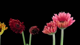 Time-lapse of growing and opening orange, red and pink gerbera flowers 1a3 in RGB + ALPHA mate format isolated on black background