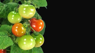 Time-lapse of growing and ripening tomato vegetables 3x1 in Animation format with ALPHA transparency channel isolated on black background