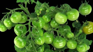 Time-lapse of growing and ripening tomato vegetables 6d3 in RGB + ALPHA matte format isolated on black background