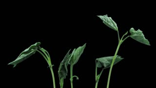 Time-lapse of growing beans vegetables 5b3 in RGB + ALPHA matte format isolated on black background