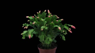 Time-lapse of growing, blooming and dying pink Christmas cactus (Schlumbergera) 3x3 in RGB + ALPHA matte format isolated on black background