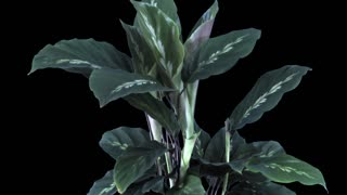 Time-lapse of growing calathea plant 1a1 in PNG+ format with ALPHA transparency channel isolated on black background