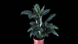 Time-lapse of growing calathea plant 1x4 in 4K PNG+ format with ALPHA transparency channel isolated on black background