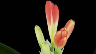 Time-lapse of growing clivia Miniata flower 9a3 in RGB + ALPHA matte format isolated on black background