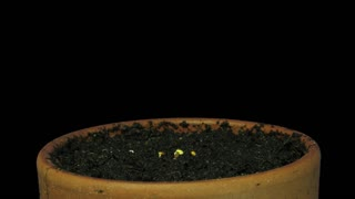 Time-lapse of growing cress plant 1a1 in PNG+ format with ALPHA transparency channel isolated on black background