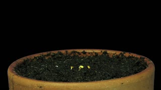 Time-lapse of growing cress plant 1a3 in RGB + ALPHA matte format isolated on black background