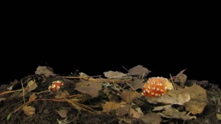 Time-lapse of growing fly agaric (Amanita Muscaria) mushroom in a forest 1x4 in RGB + ALPHA matte format isolated on black background