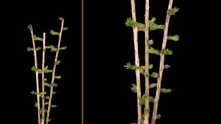Time-lapse of growing larch tree branch 1b1 in PNG+ format with ALPHA transparency channel isolated on black background