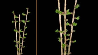 Time-lapse of growing larch tree branch 1b3 in RGB + ALPHA matte format isolated on black background