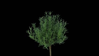 Time-lapse of growing lavender (Lavandula) tree 1x3 in 4K PNG+ format with ALPHA transparency channel isolated on black background