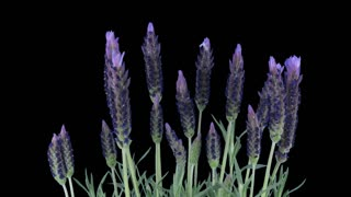 Time-lapse of growing lavender (Lavandula) tree 5b1 in PNG+ format with ALPHA transparency channel isolated on black background.