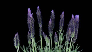 Time-lapse of growing lavender (Lavandula) tree 5b3 in RGB + ALPHA matte format isolated on black background.