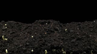 Time-lapse of growing mung beans 6x1 in PNG+ format with ALPHA transparency channel isolated on black background