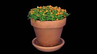 Time-lapse of growing nertera granadensis plant (coral bead plant, pin-cushion plant, coral moss or English baby tears) 1a4 in 4K PNG+ format with ALPHA transparency channel isolated on black background